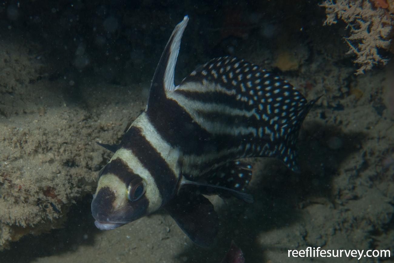 Equetus punctatus, Bocas del Toro, Panama,  Photo: Rick Stuart-Smith