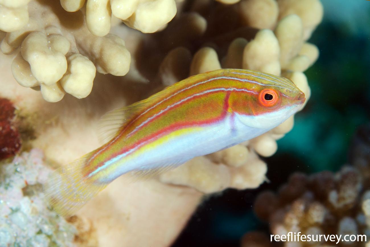 Cirrhilabrus laboutei, Female, Marion Reef, Coral Sea,  Photo: Ian Shaw