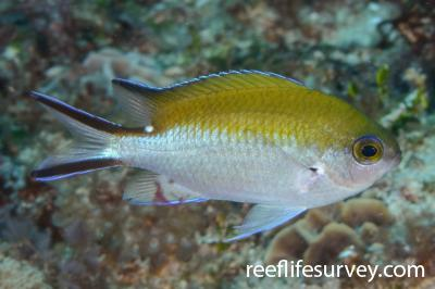 Chromis fumea: Adult.  Photo: Rick Stuart-Smith
