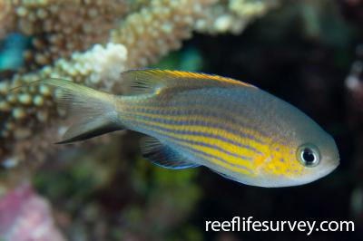 Chromis vanderbilti: Adult.  Photo: Rick Stuart-Smith