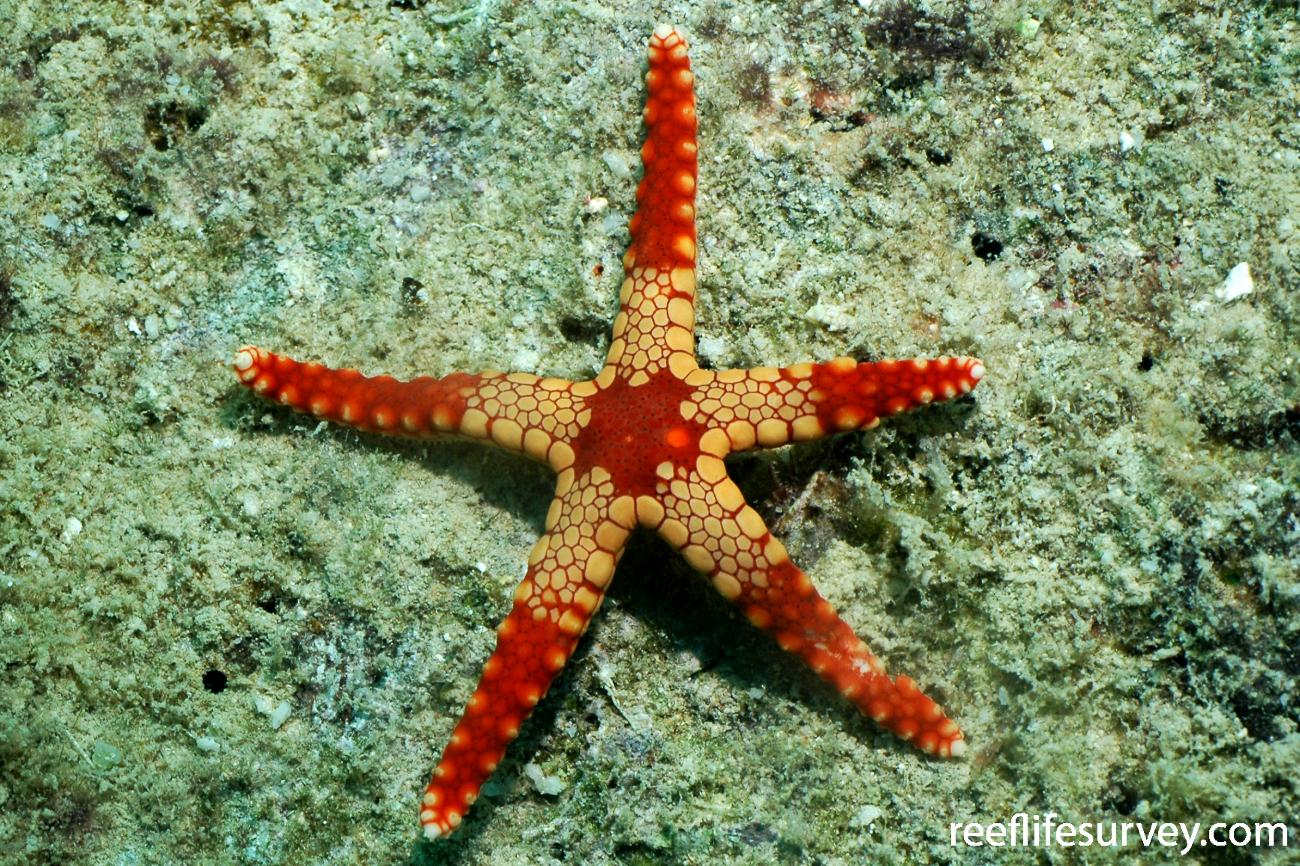 Fromia monilis, Lizard Island, Great Barrier Reef, Australia,  Photo: Sophie Edgar
