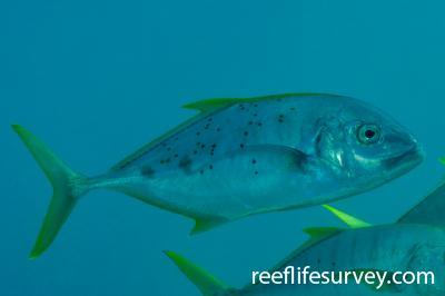 Carangoides fulvoguttatus: Ningaloo, WA,  Photo: Rick Stuart-Smith