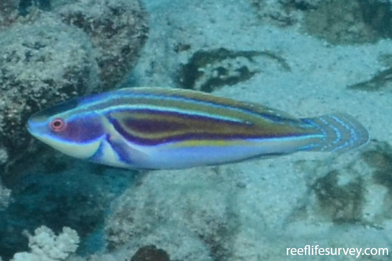 Cirrhilabrus laboutei, Male.  Photo: Graham Edgar