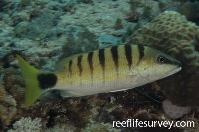 Lutjanus semicinctus: Raja Ampat, Indonesia,  Photo: Rick Stuart-Smith