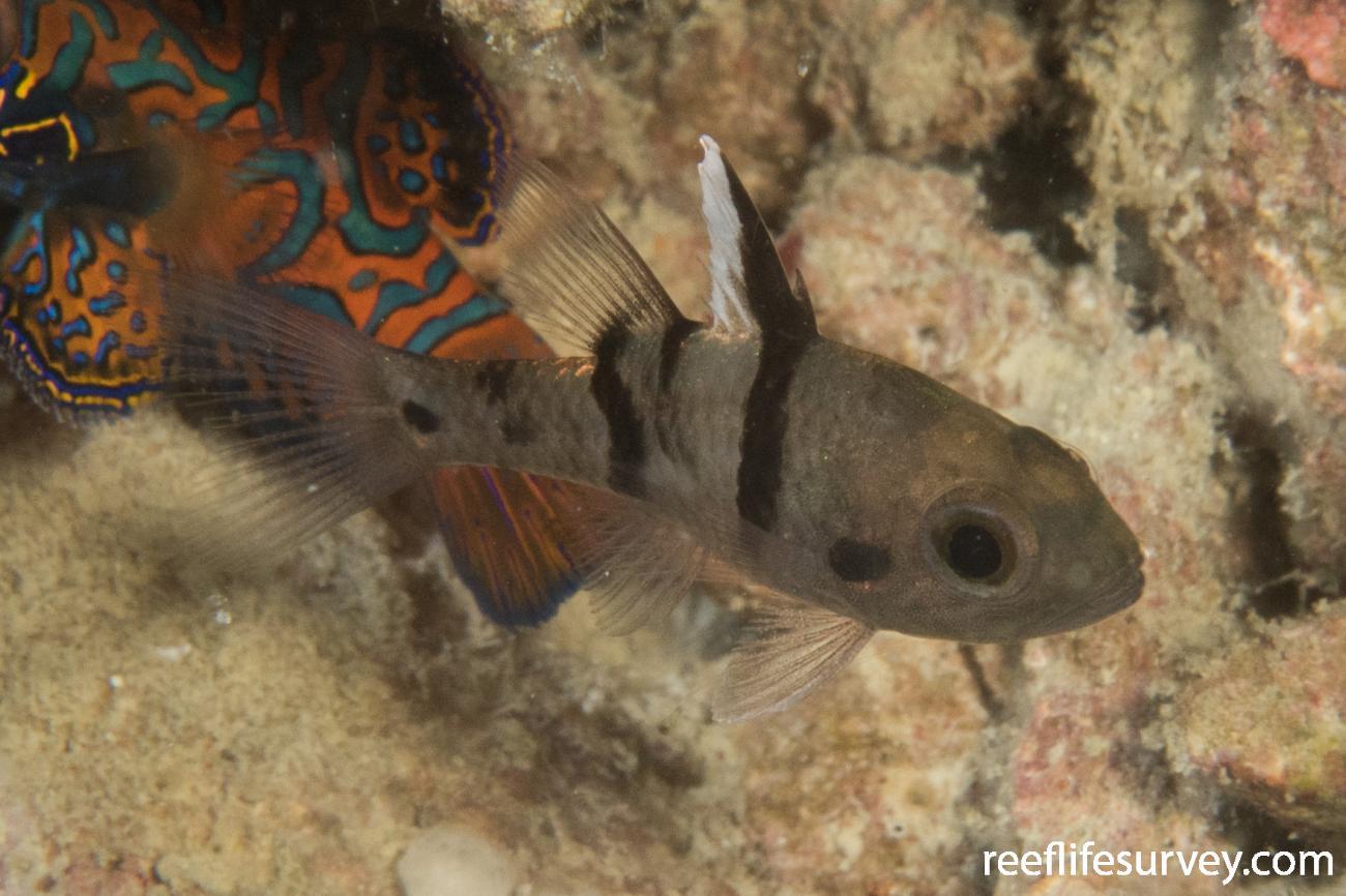 Pristicon trimaculatus, Juvenile, QLD, Australia,  Photo: Rick Stuart-Smith