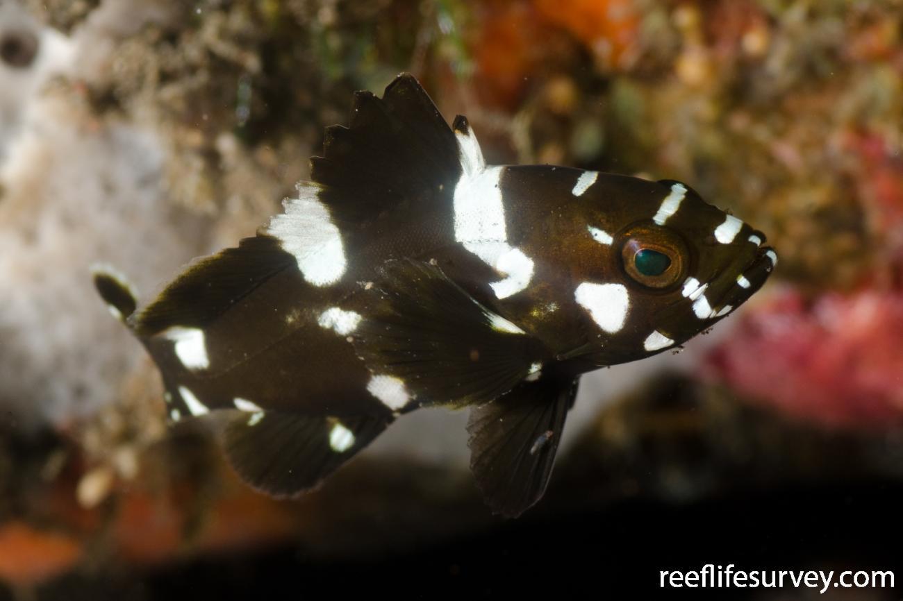 Epinephelus maculatus, Juvenile, Bali, Indonesia,  Photo: Ian Shaw