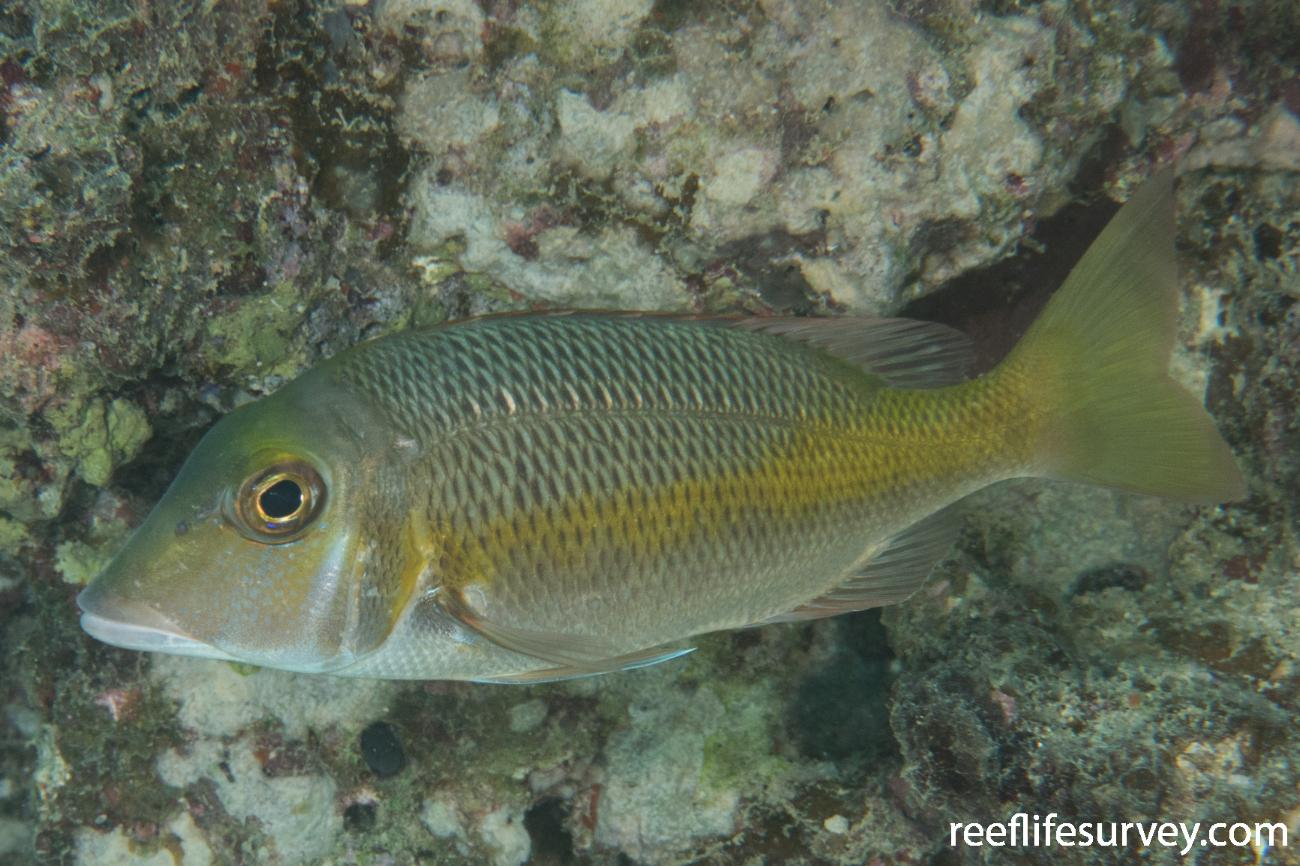 Lethrinus atkinsoni, QLD, Australia,  Photo: Rick Stuart-Smith
