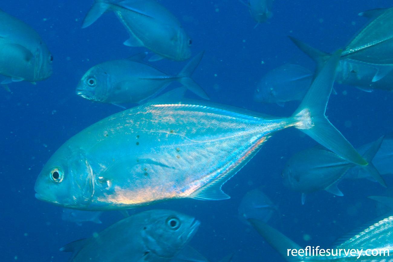 Carangoides gymnostethus, Great Barrier Reef, Australia,  Photo: Graham Edgar