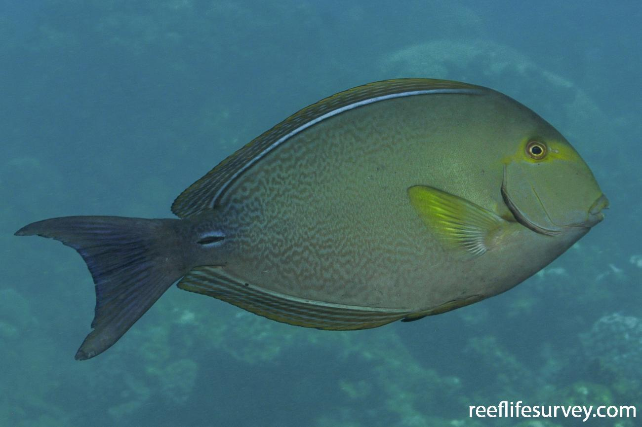 Acanthurus xanthopterus, Great Barrier Reef, Australia,  Photo: Rick Stuart-Smith