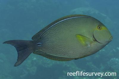 Acanthurus xanthopterus: Great Barrier Reef, Australia,  Photo: Rick Stuart-Smith