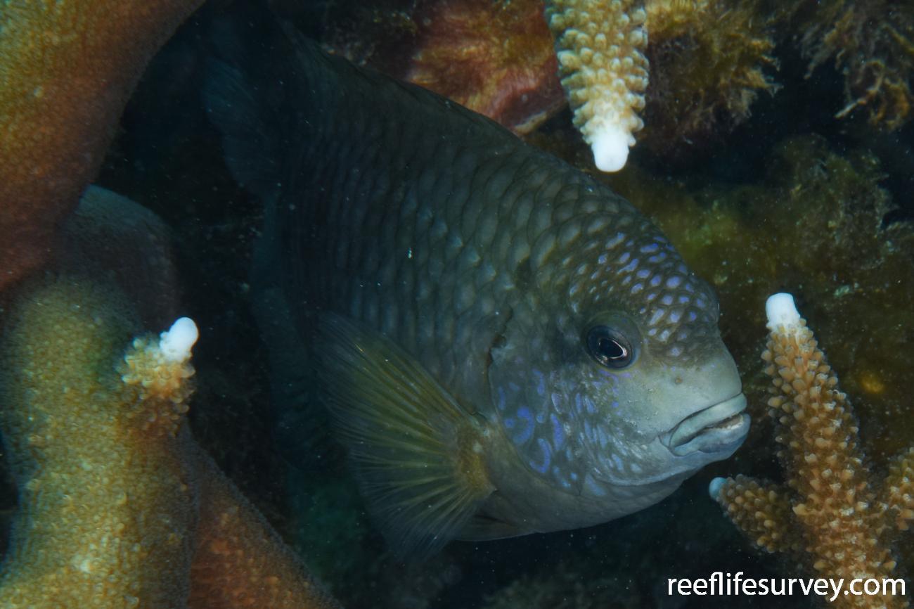 Stegastes punctatus, WA, Australia,  Photo: Rick Stuart-Smith