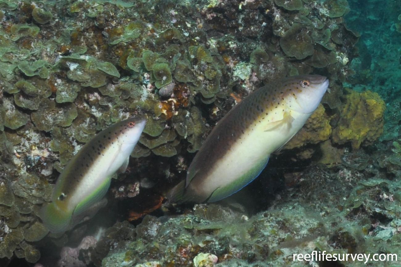 Austrolabrus maculatus, Adelaide, SA,  Photo: Rick Stuart-Smith