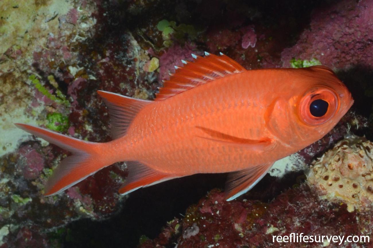 Myripristis vittata, Coral Sea, Australia,  Photo: Graham Edgar