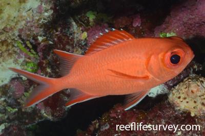 Myripristis vittata: Coral Sea, Australia,  Photo: Graham Edgar