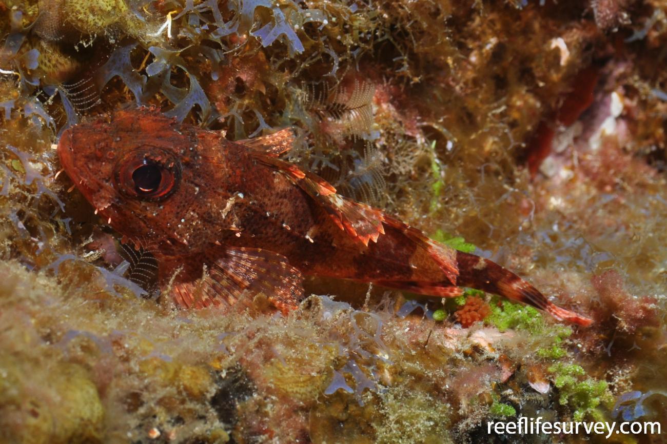 Scorpaena maderensis,  Photo: Rick Stuart-Smith