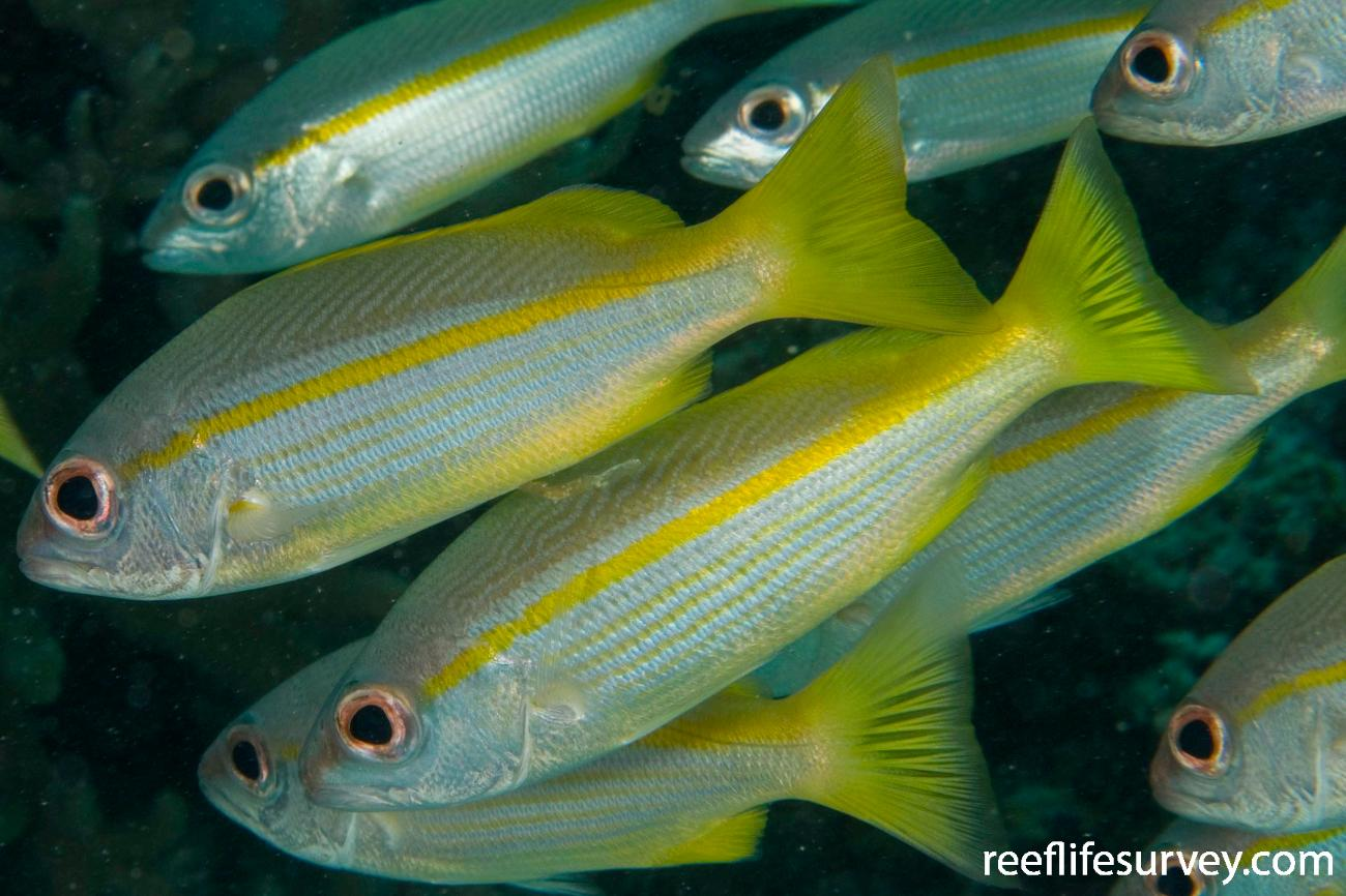 Lutjanus lutjanus, Raja Ampat, Indonesia,  Photo: Andrew Green