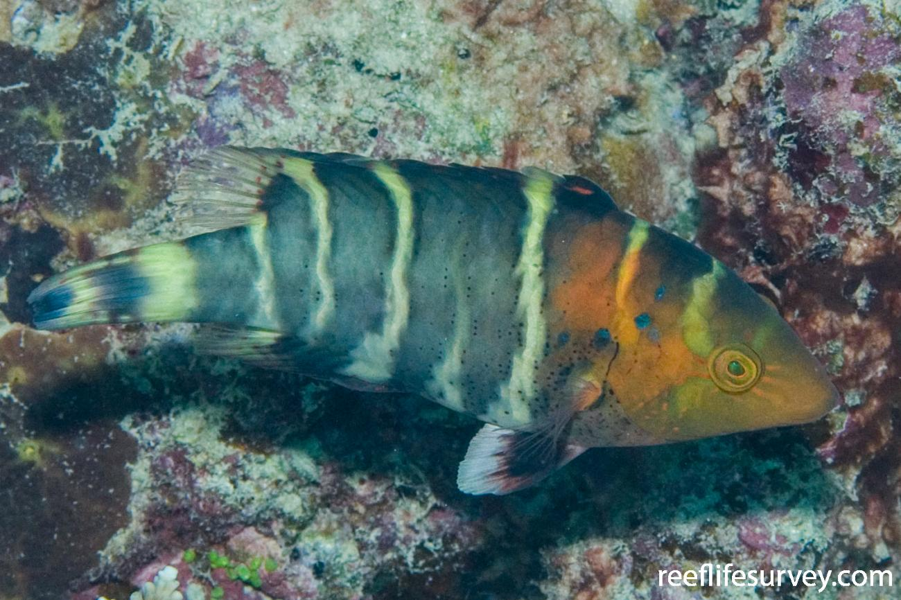 Cheilinus fasciatus, Juvenile, Great Barrier Reef, Cairns, Qld,  Photo: Andrew Green