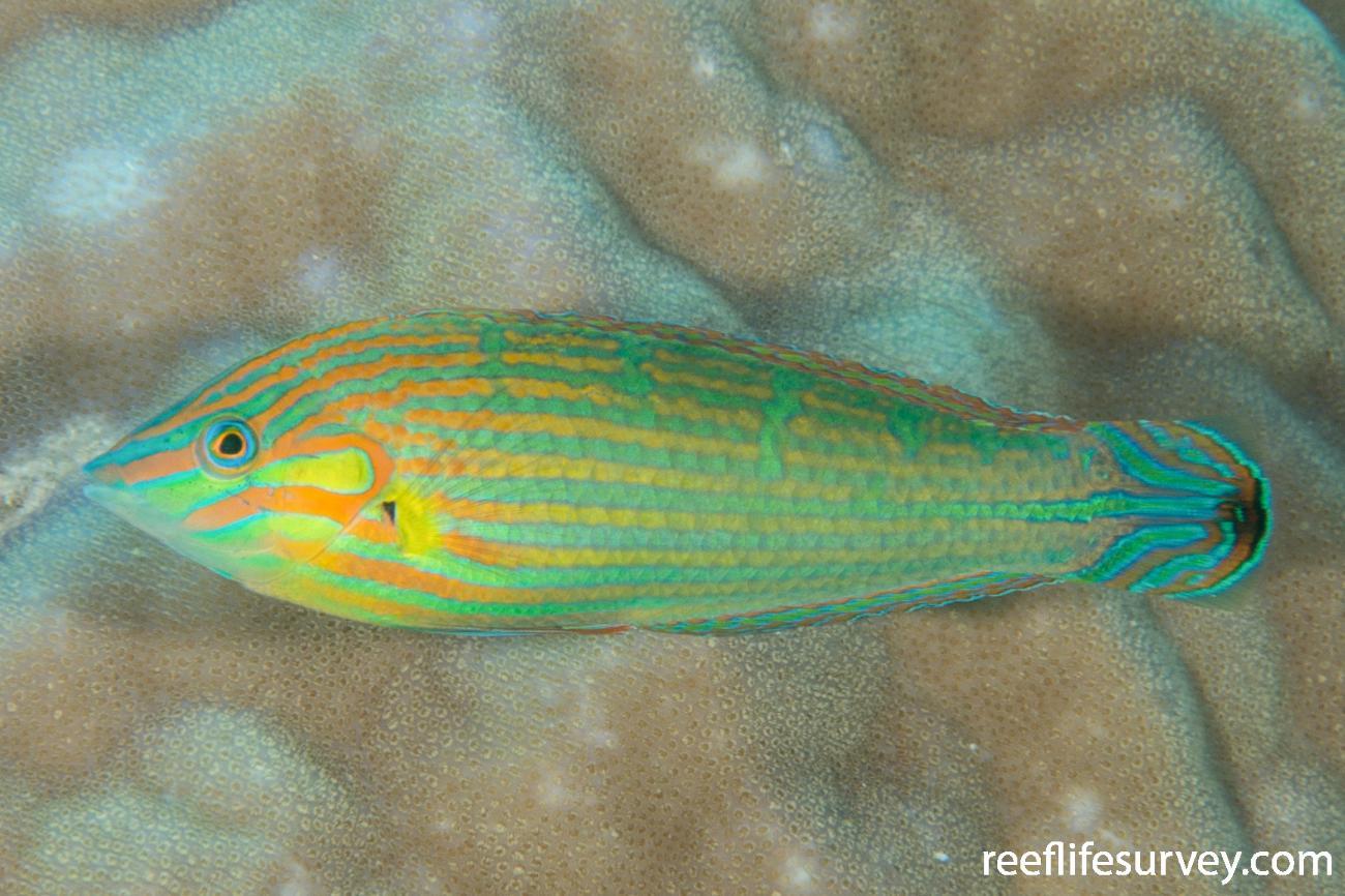 Halichoeres melanurus, Male, Offshore NW Australia,  Photo: Rick Stuart-Smith