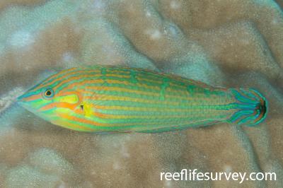 Halichoeres melanurus: Male, Offshore NW Australia,  Photo: Rick Stuart-Smith