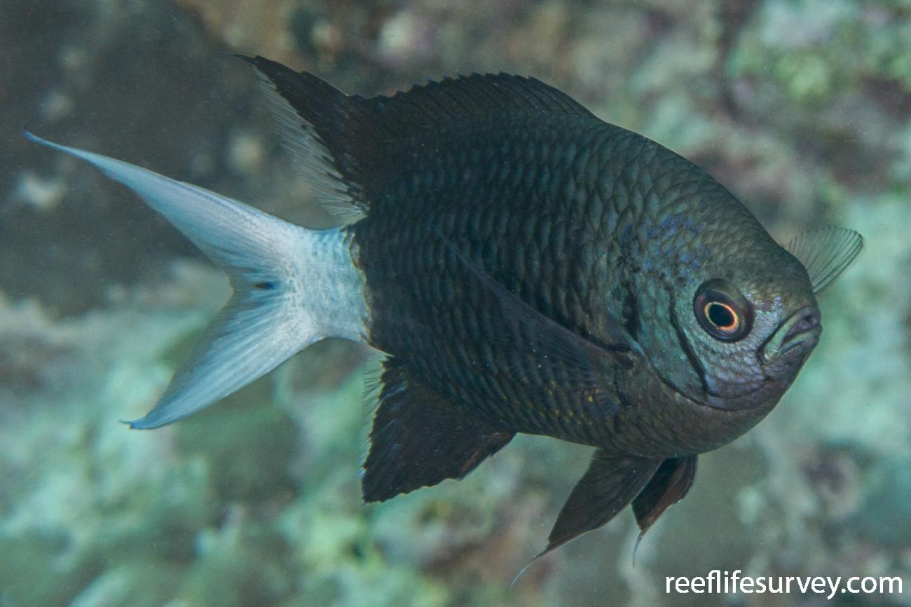 Chromis xanthura, Adult.  Photo: Rick Stuart-Smith