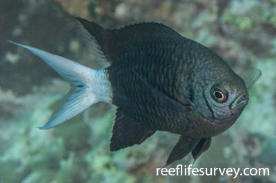 Chromis xanthura: Adult.  Photo: Rick Stuart-Smith