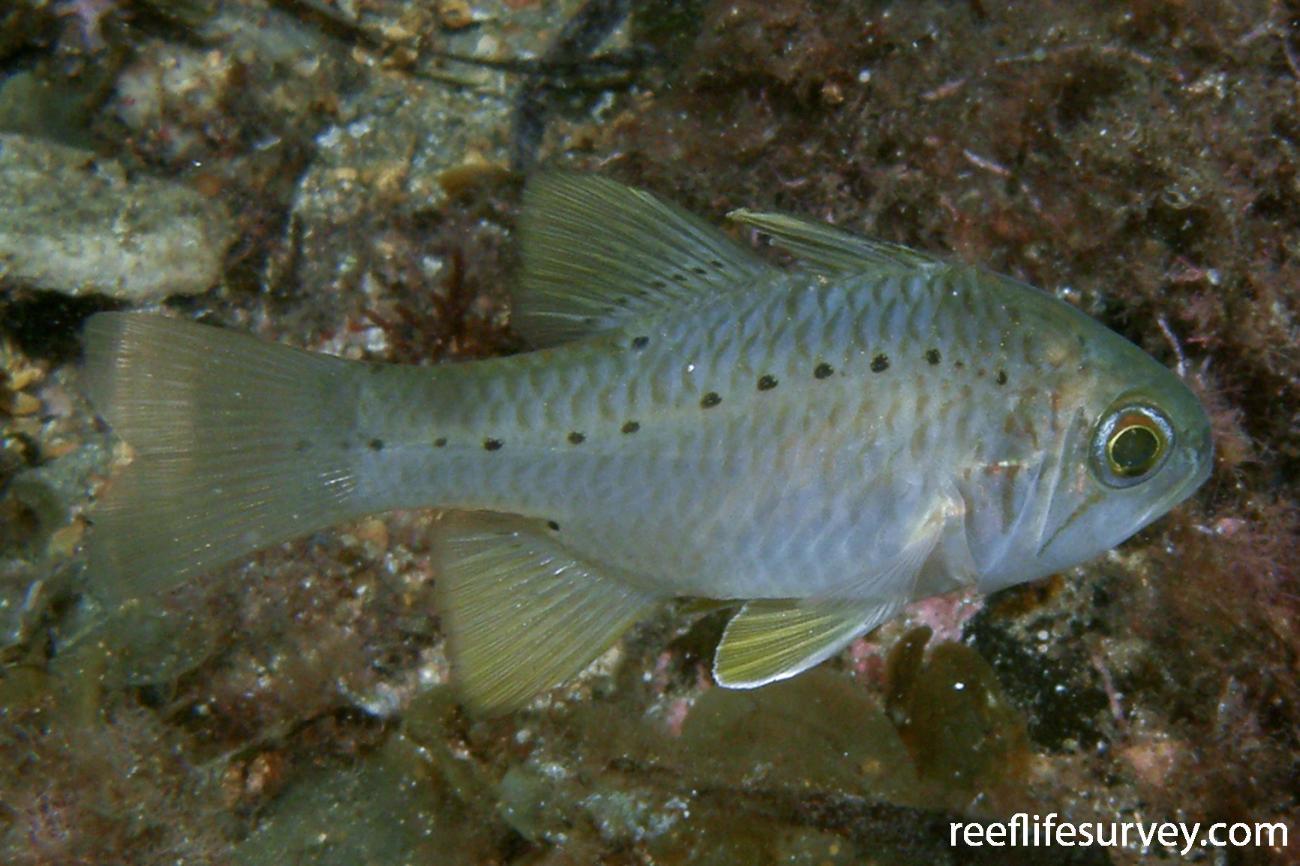Ostorhinchus rueppellii, Adult.  Photo: Rick Stuart-Smith