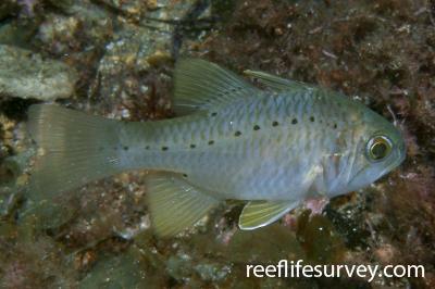 Ostorhinchus rueppellii: Adult.  Photo: Rick Stuart-Smith