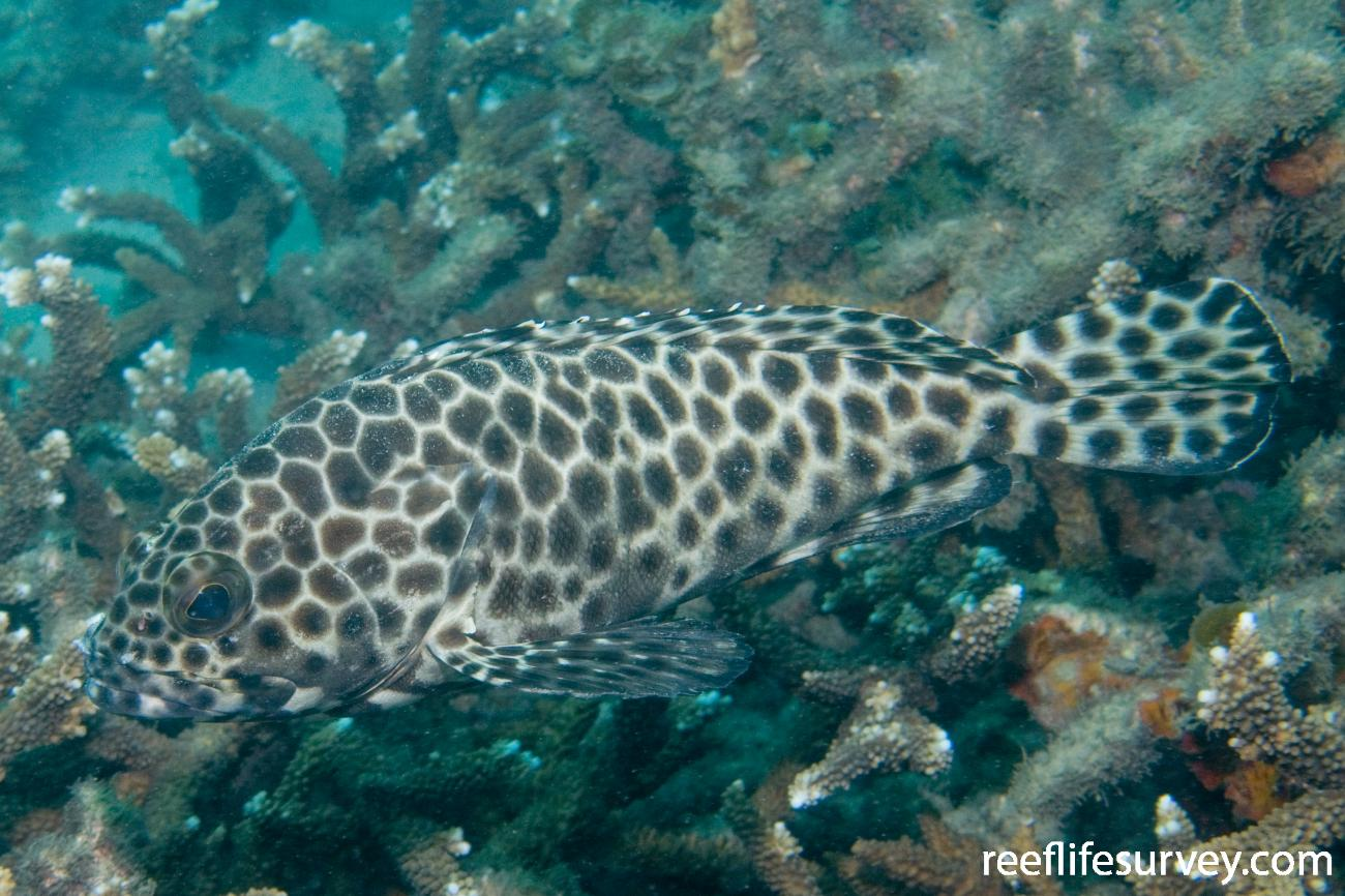 Epinephelus quoyanus, Great Keppel Is, QLD,  Photo: Andrew Green