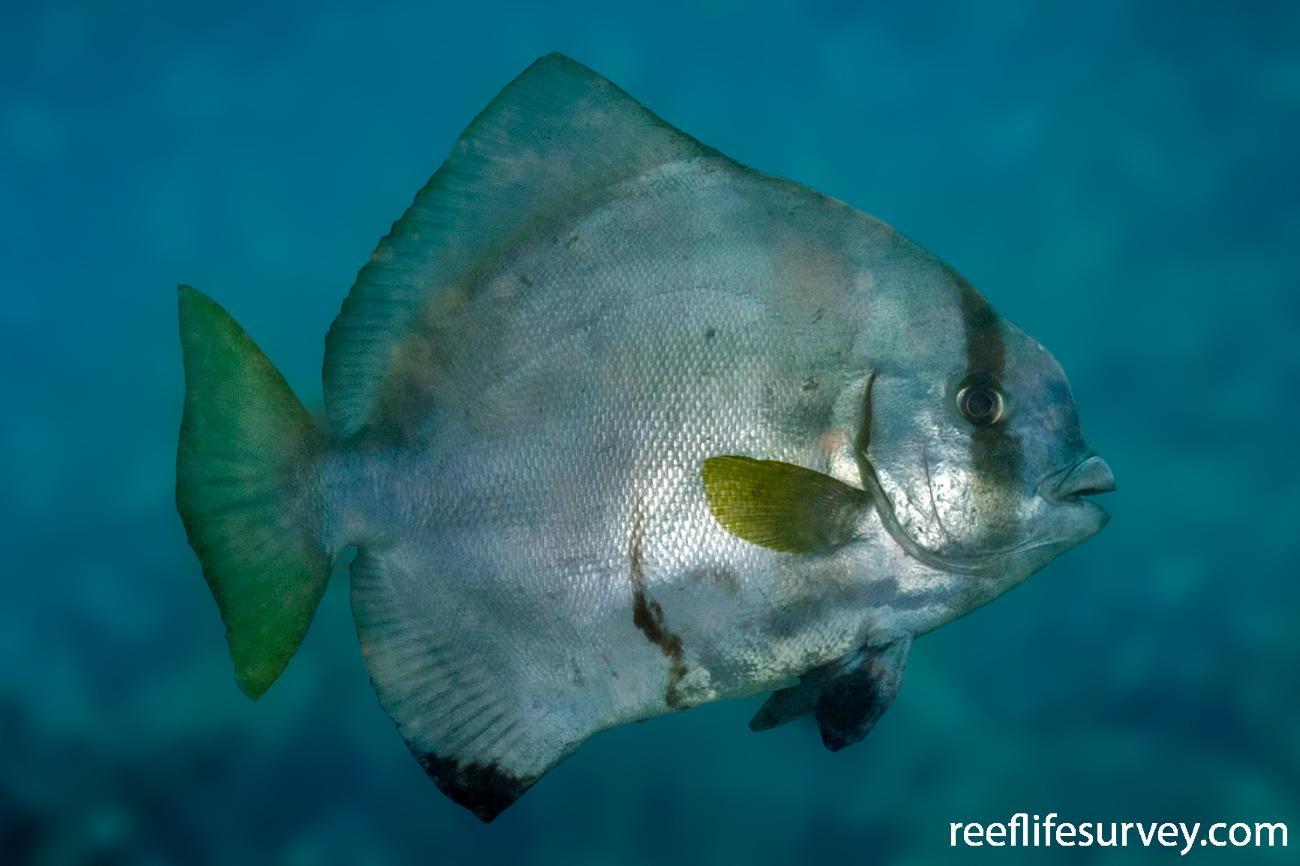 Platax batavianus, Coral Sea, Australia,  Photo: Ian Shaw