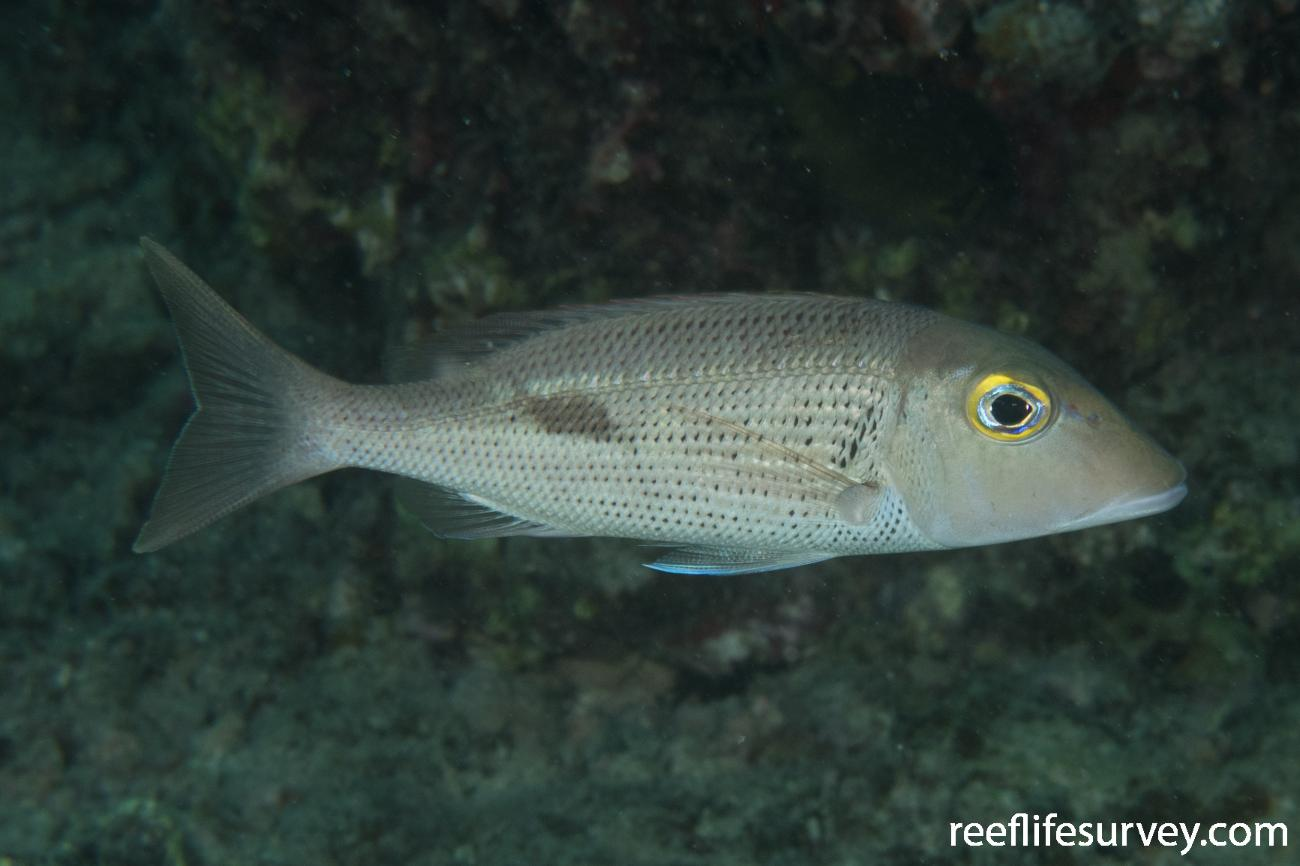 Lethrinus semicinctus, QLD, Australia,  Photo: Rick Stuart-Smith