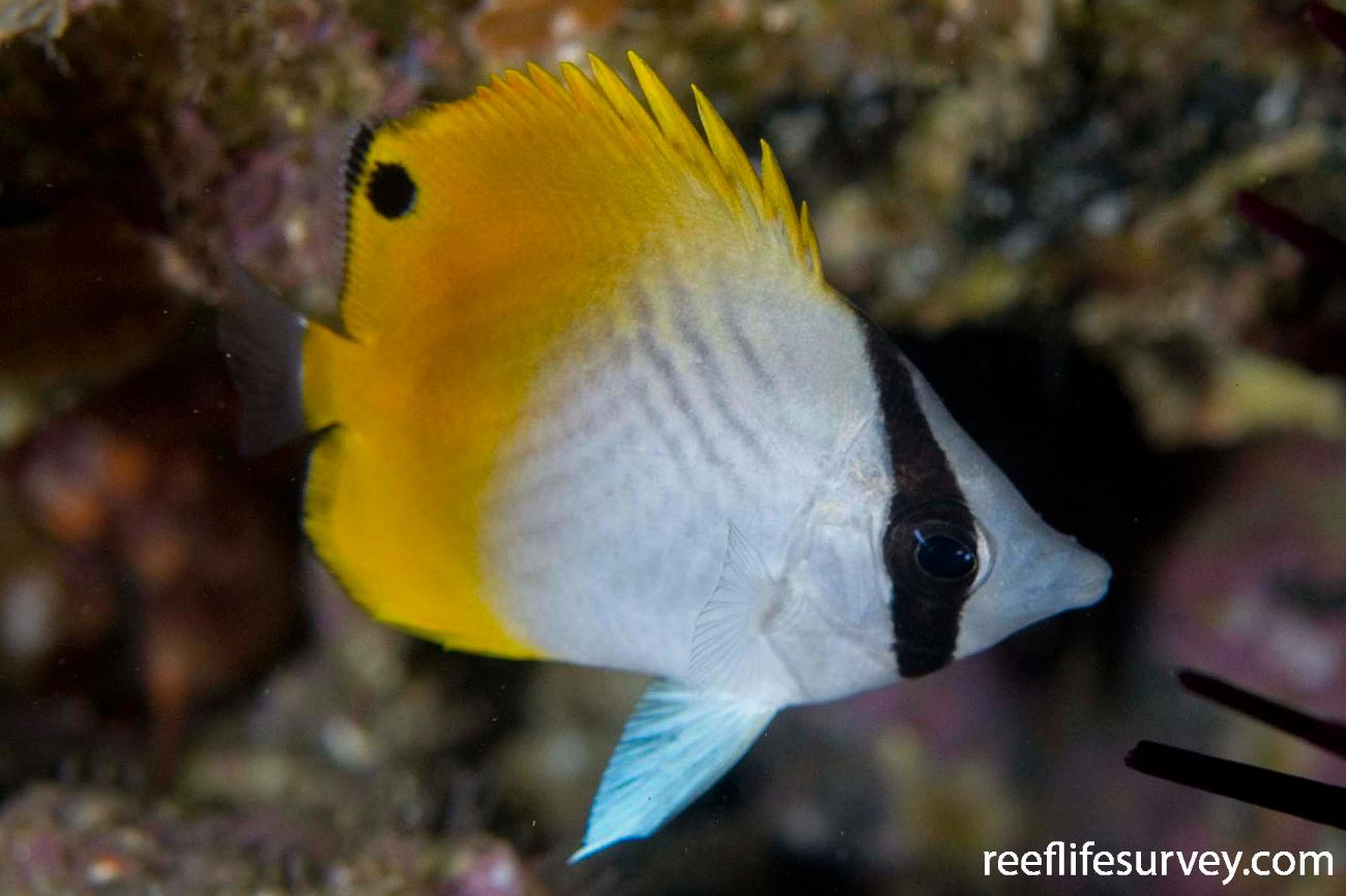 Chaetodon auriga, Juvenile, Narooma, NSW,  Photo: Andrew Green