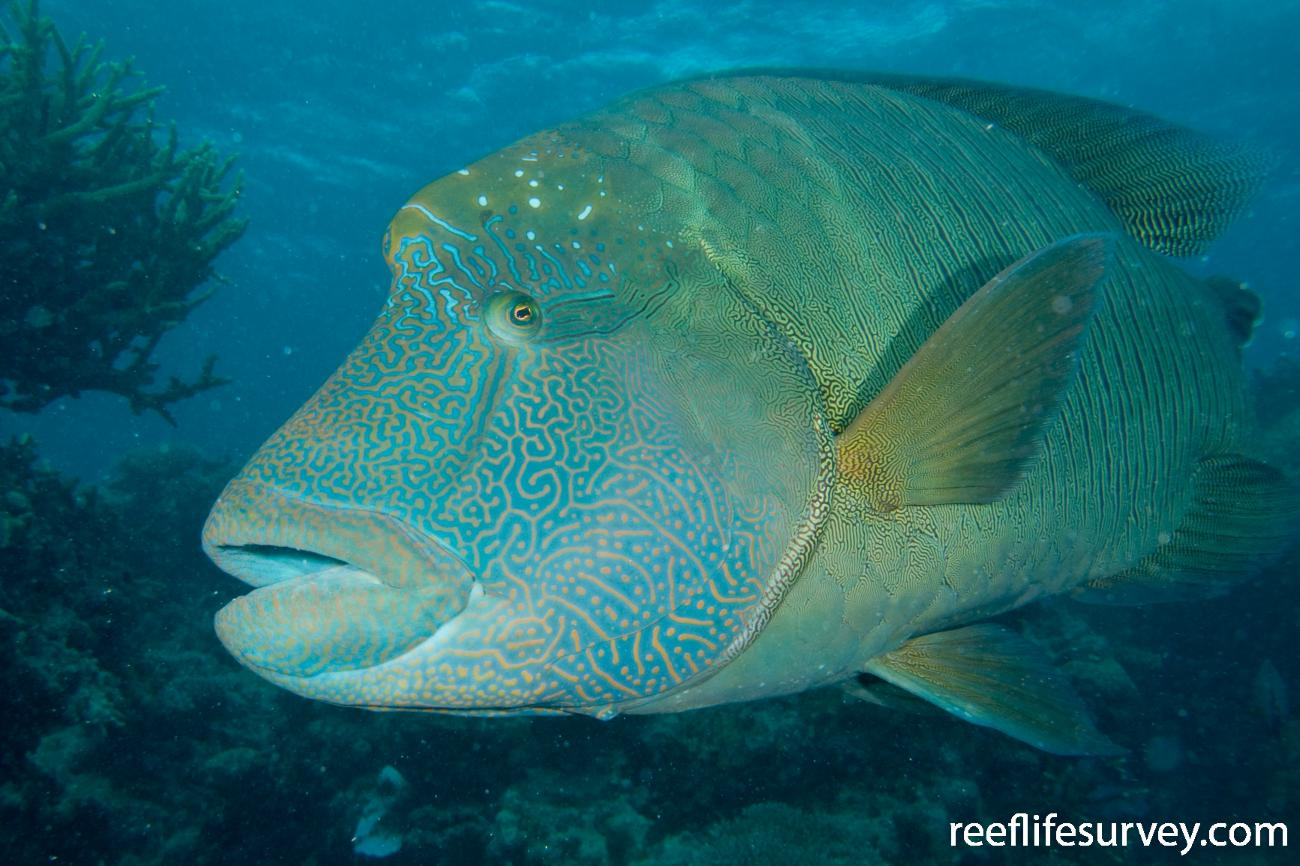 Cheilinus undulatus, Great Barrier Reef, Cairns, QLD, Australia,  Photo: Andrew Green