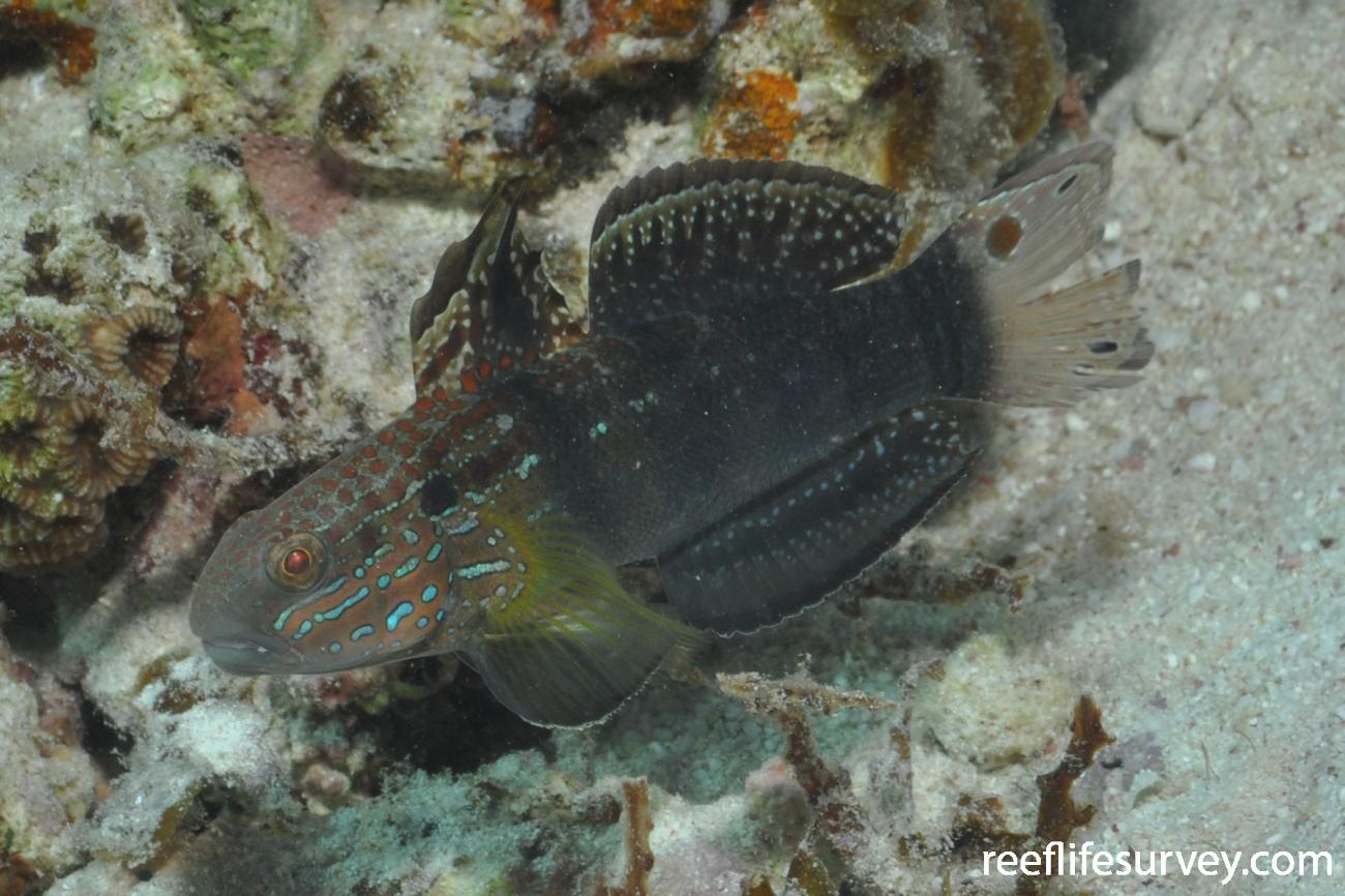 Amblygobius phalaena, Adult, WA, Australia,  Photo: Rick Stuart-Smith