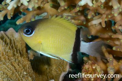 Chromis retrofasciata: Raja Ampat, Indonesia,  Photo: Rick Stuart-Smith