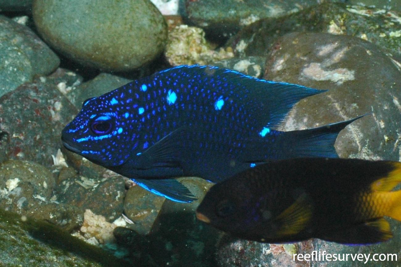 Microspathodon dorsalis, Juvenile, Malpelo Island, Colombia,  Photo: Graham Edgar