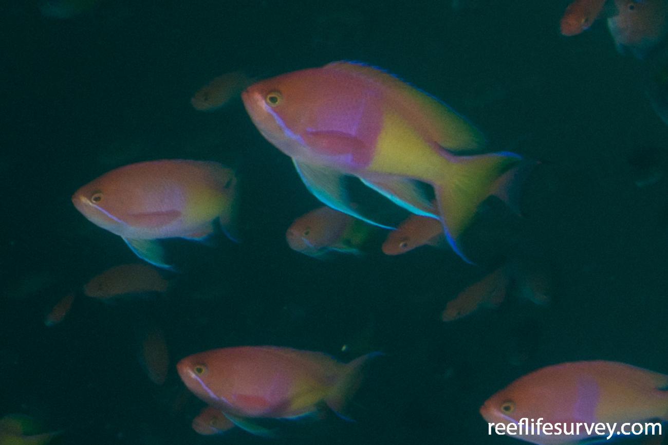 Pseudanthias rubrizonatus, NSW, Australia,  Photo: Rick Stuart-Smith