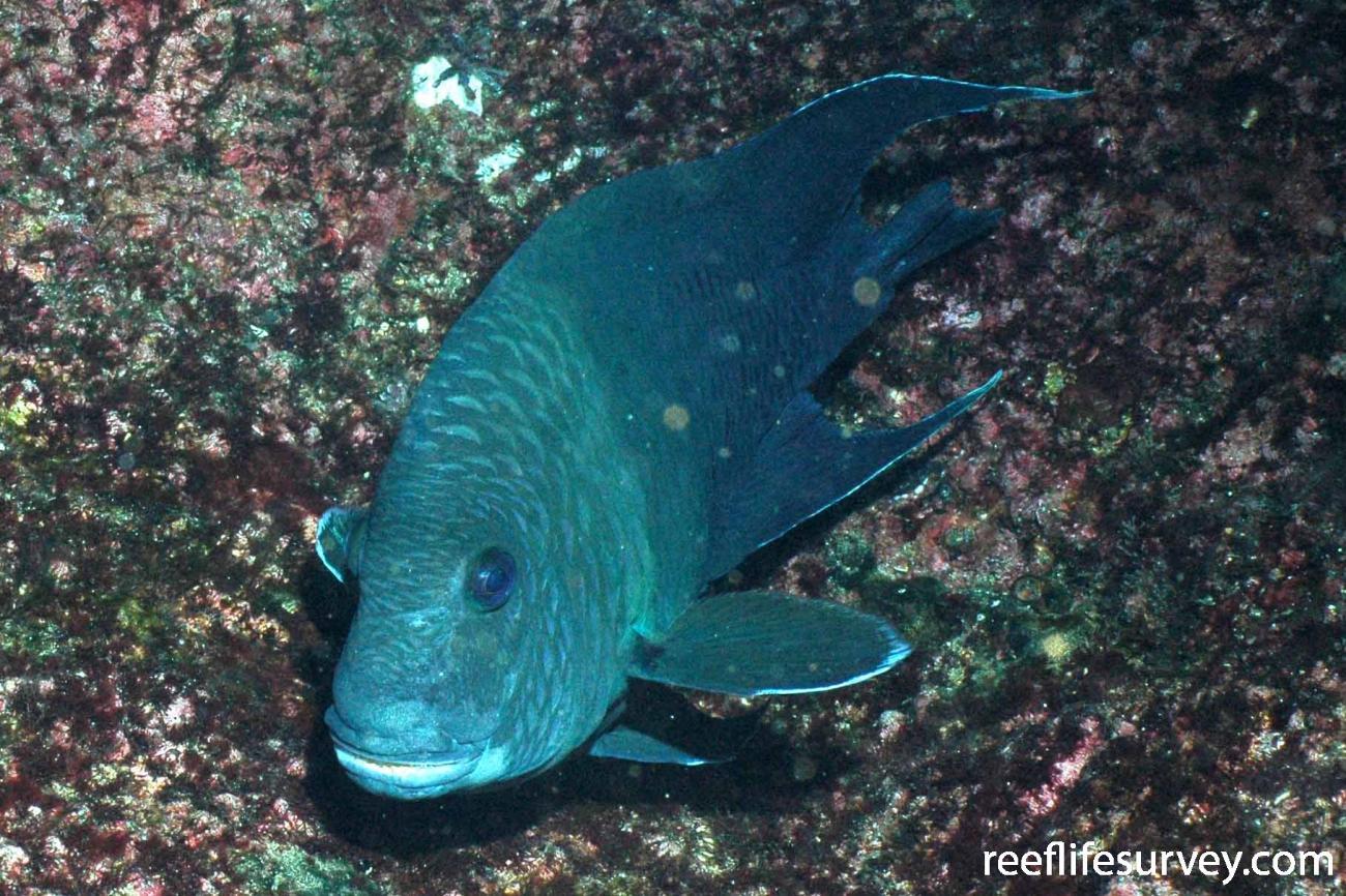 Microspathodon dorsalis, Malpelo Island, Colombia,  Photo: Graham Edgar