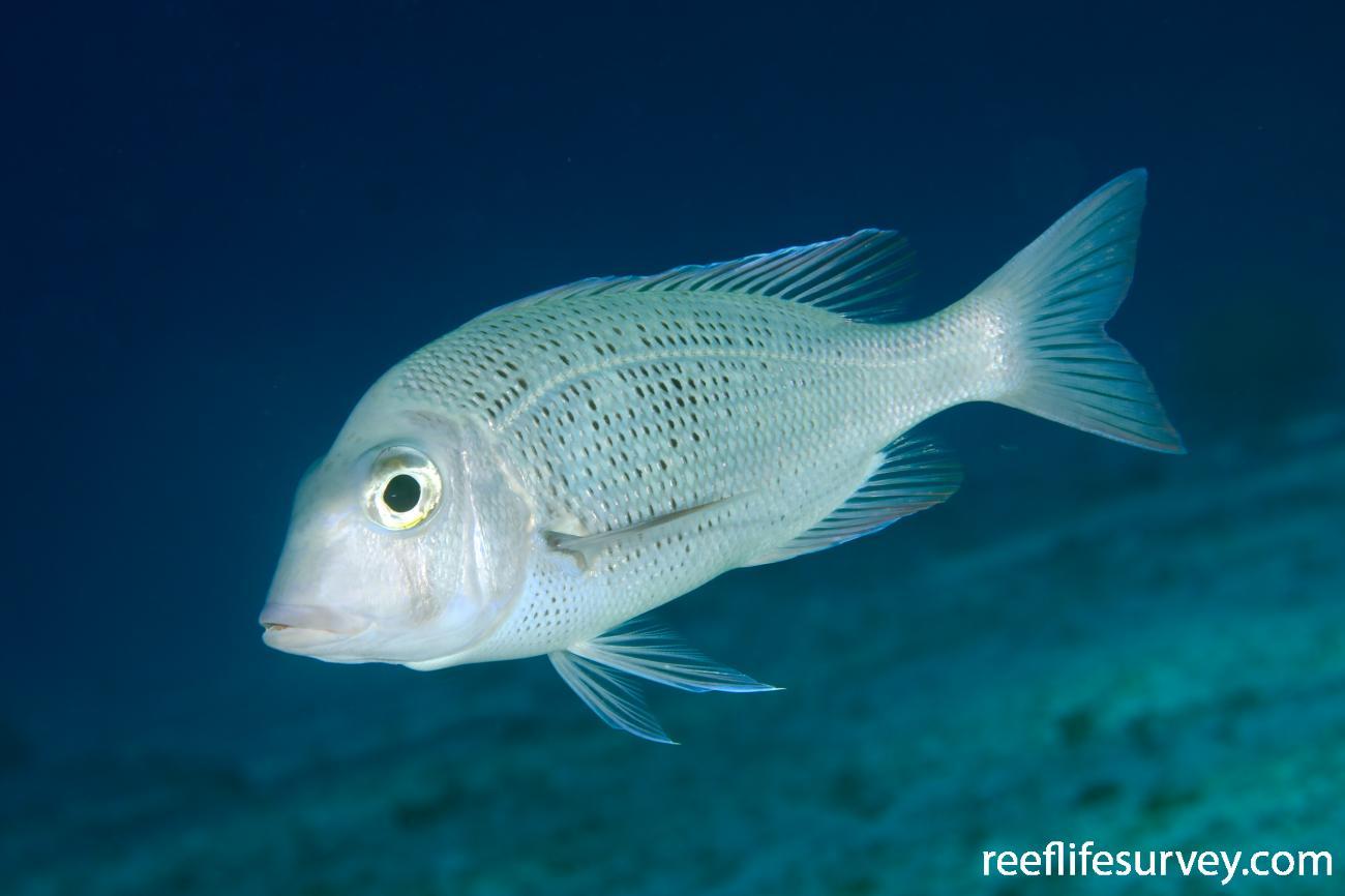Gymnocranius euanus, Marion Reef, Coral Sea,  Photo: Ian Shaw