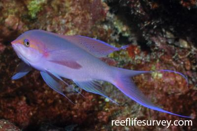 Pseudanthias pascalus: Male.  Photo: Rick Stuart-Smith