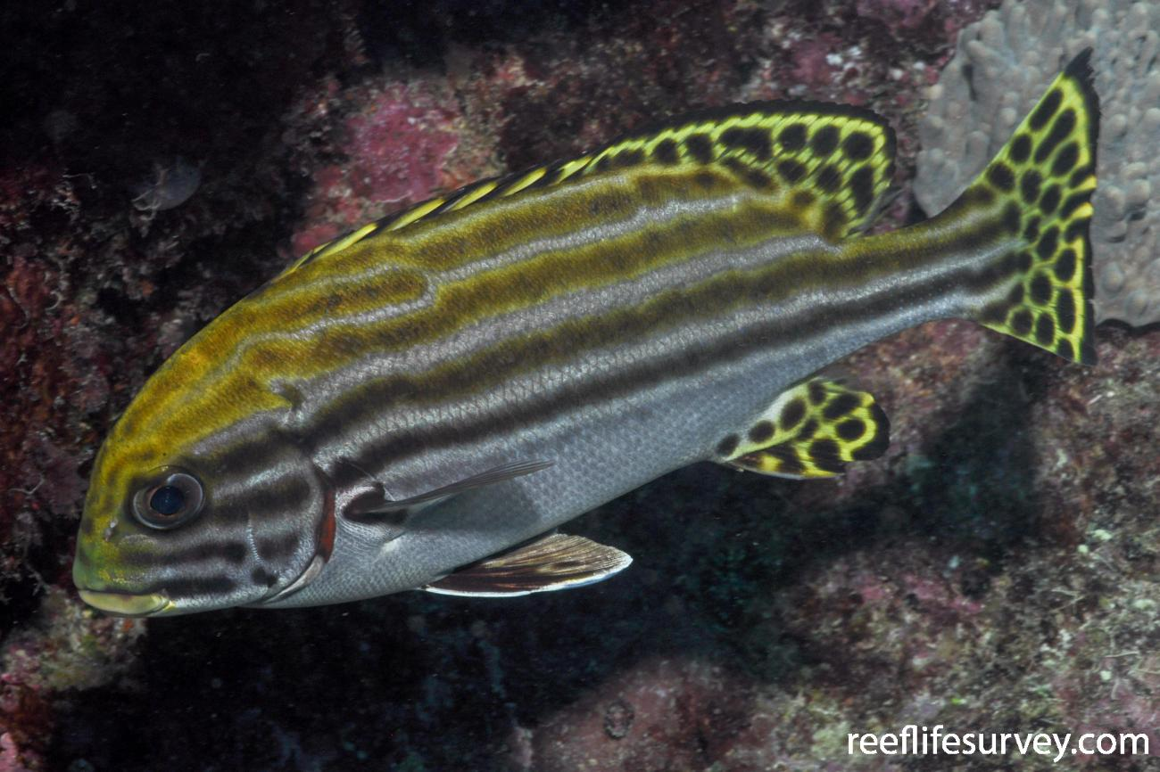 Plectorhinchus lessonii,  Photo: Rick Stuart-Smith