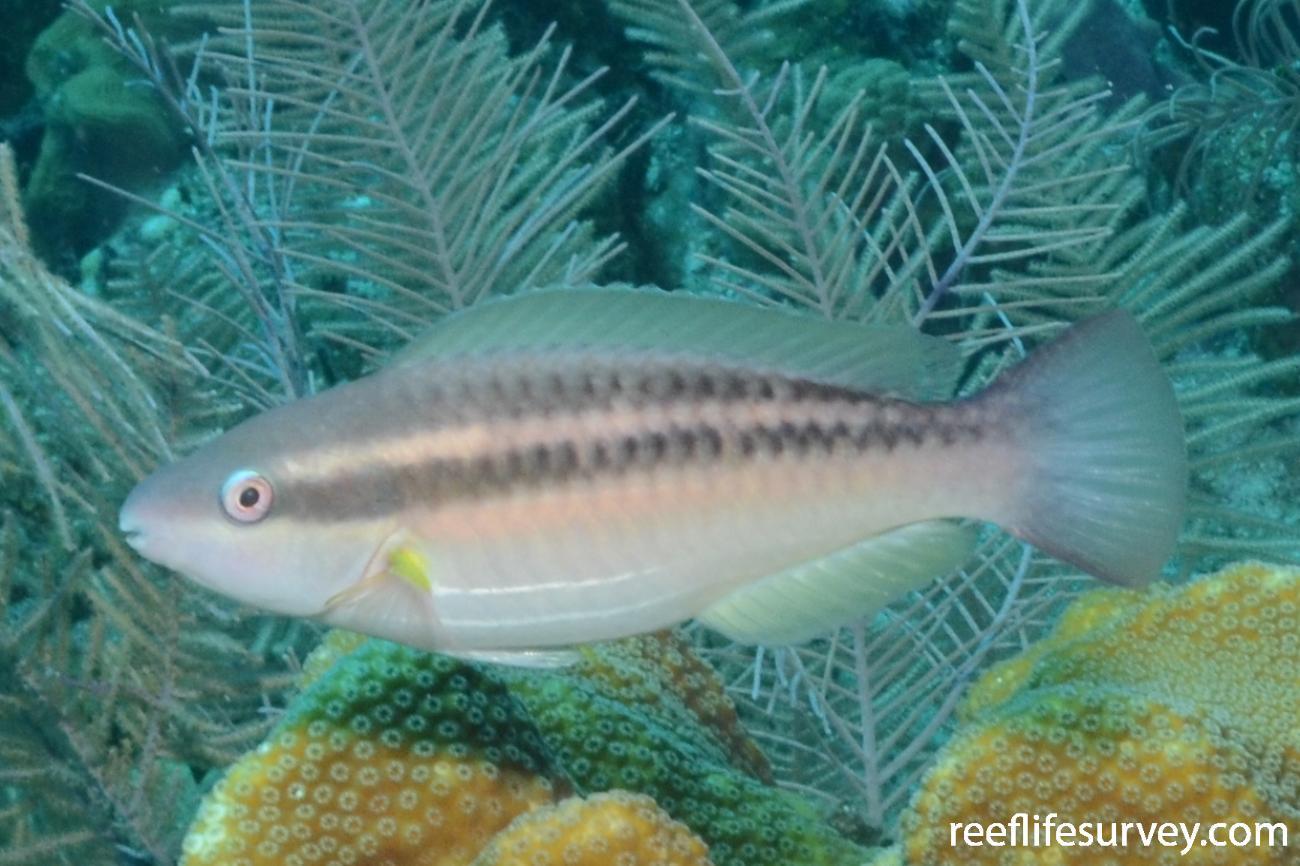 Scarus taeniopterus,  Photo: Graham Edgar