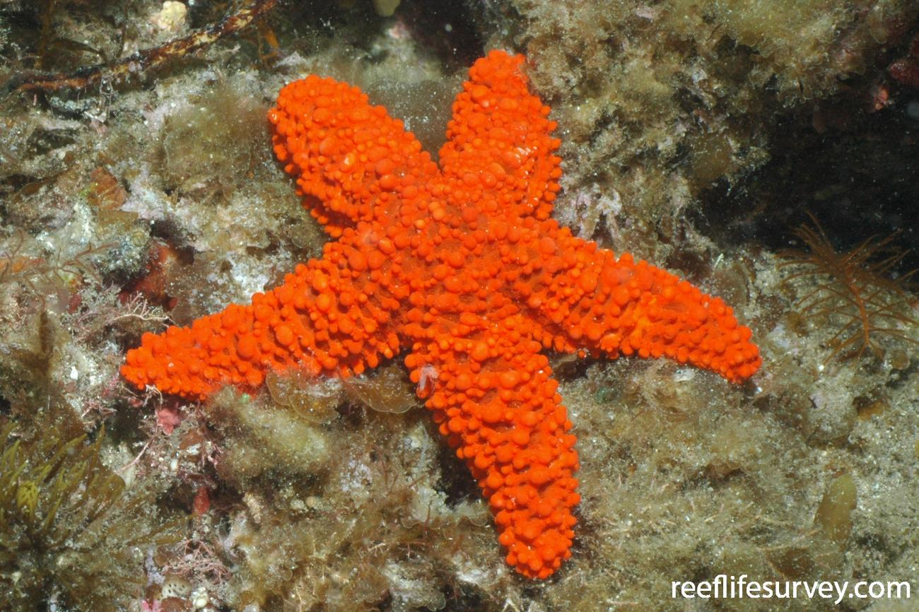 Uniophora granifera, Bass Strait, TAS,  Photo: Graham Edgar