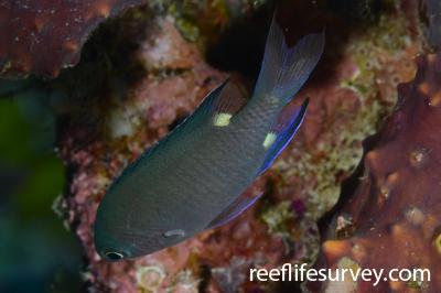Chromis elerae: Raja Ampat, Indonesia,  Photo: Rick Stuart-Smith