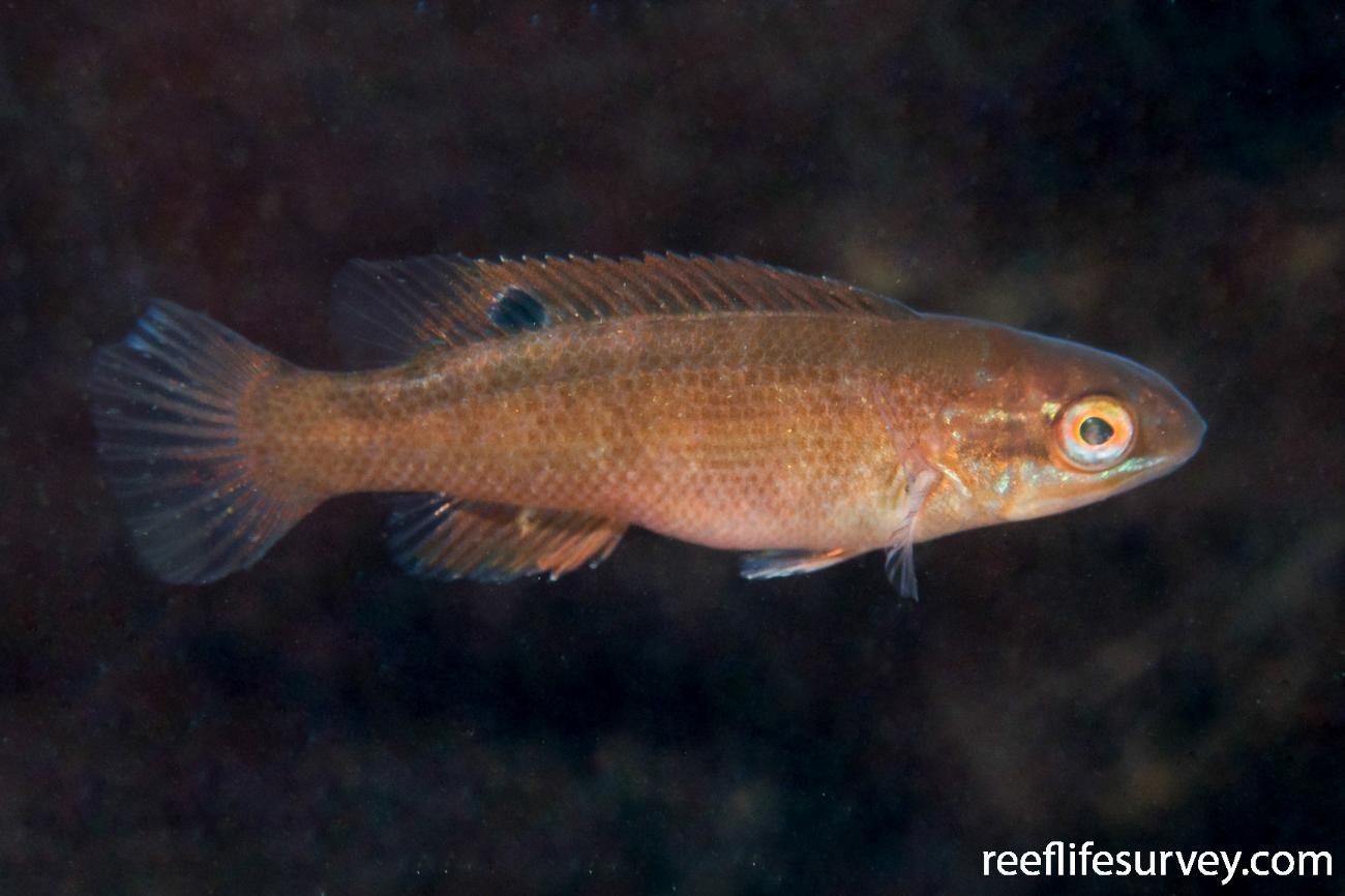 Tautogolabrus adspersus, Gloucester, MA,  Photo: Rick Stuart-Smith