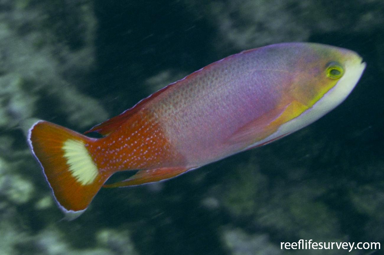 Pseudanthias pictilis, Male.  Photo: Rick Stuart-Smith