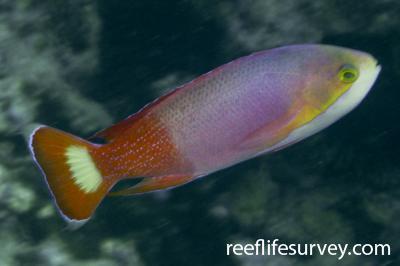 Pseudanthias pictilis: Male.  Photo: Rick Stuart-Smith