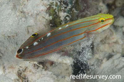 Koumansetta rainfordi: Adult, Ashmore Reef, WA,  Photo: Andrew Green