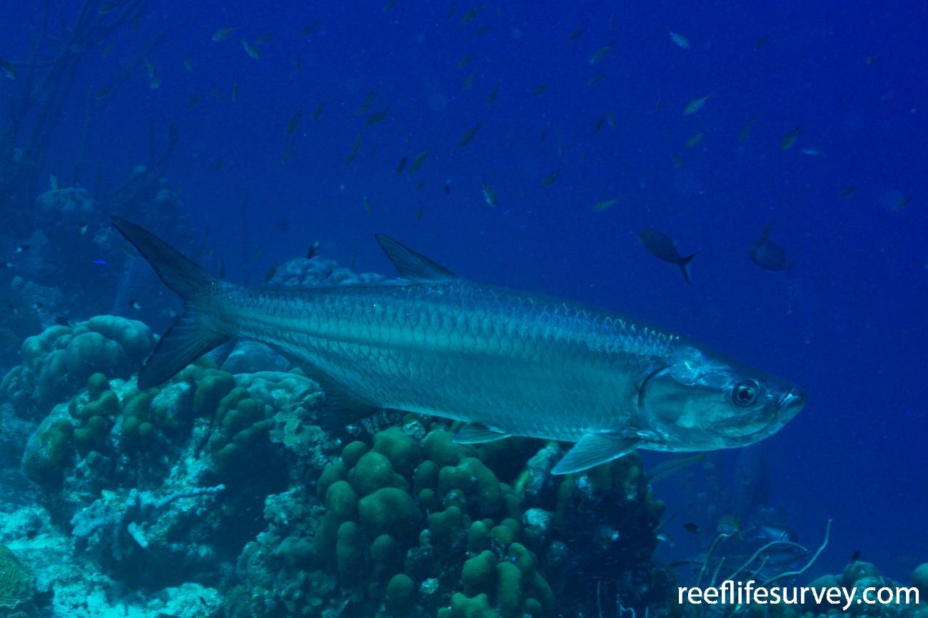 Megalops atlanticus, Bonaire,  Photo: Rick Stuart-Smith