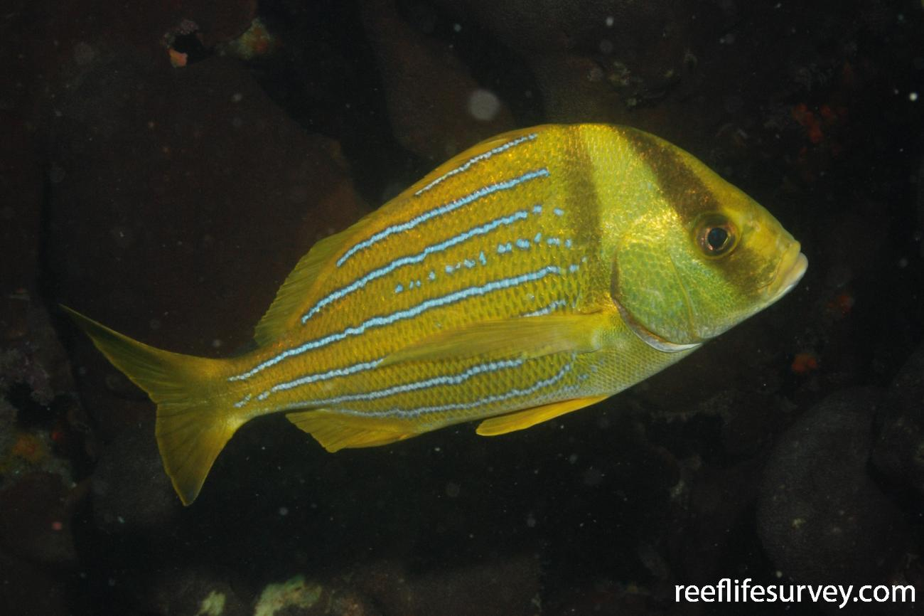 Anisotremus taeniatus, Adult, Machalilla, Ecuador,  Photo: Graham Edgar
