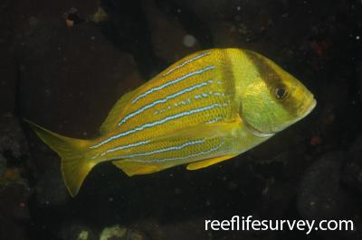 Anisotremus taeniatus: Adult, Machalilla, Ecuador,  Photo: Graham Edgar